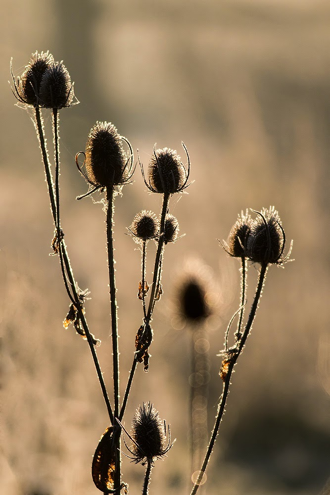 Teasels in Gold