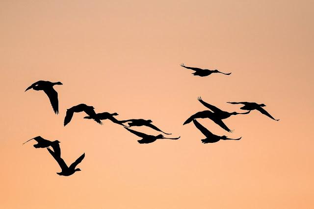 Last Walk of 2014 - Greylag Geese in flight