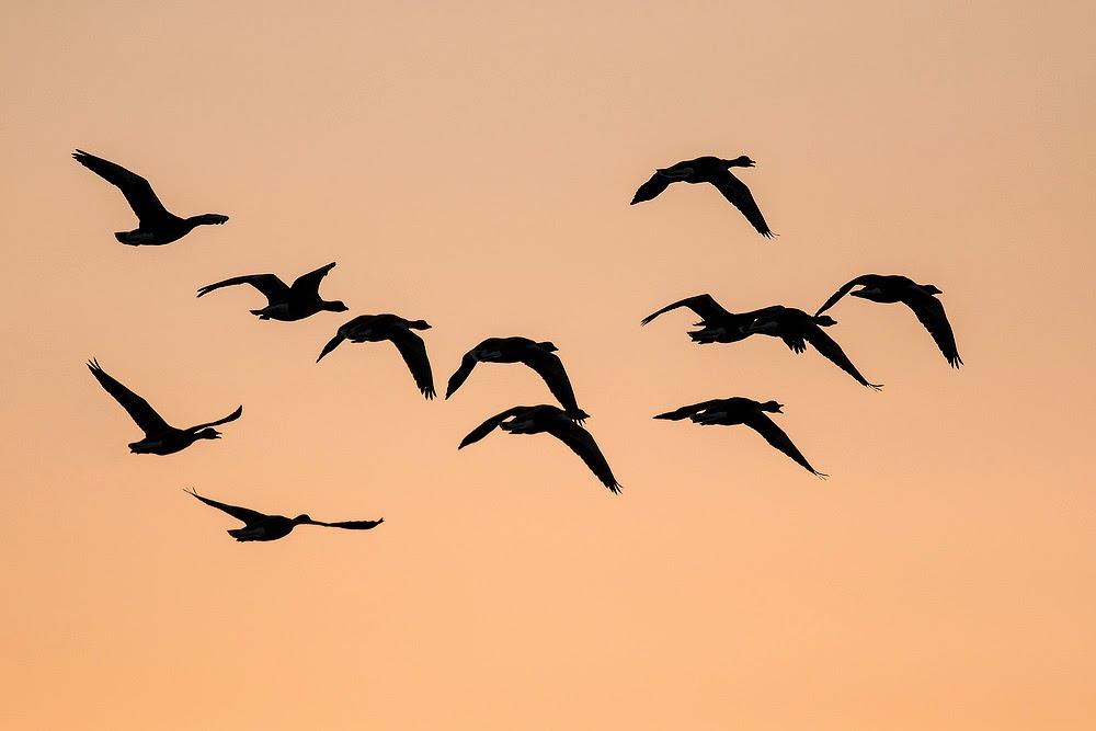 Greylag Geese at sunset - Manor Farm, Milton Keynes