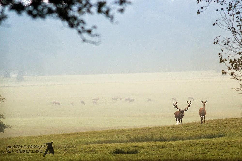 Red Deer at Woburn