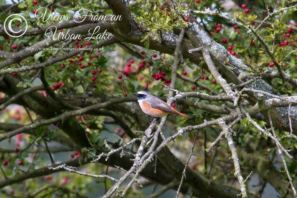 Male Common Redstart