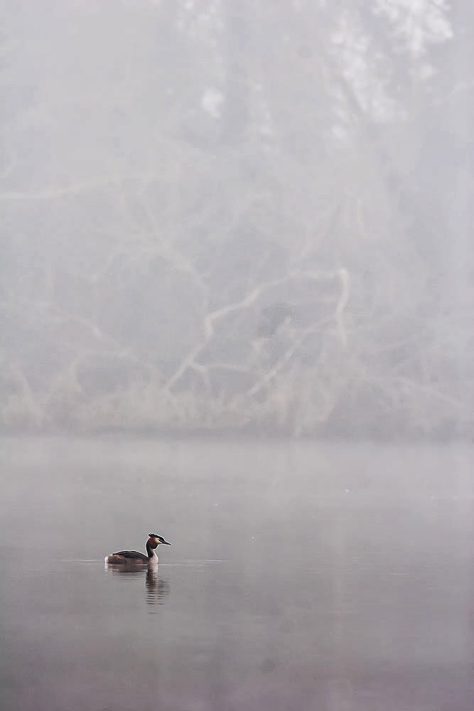 Great-crested grebe in the mist my favourite photo from Views From an Urban Lake 2014 Review