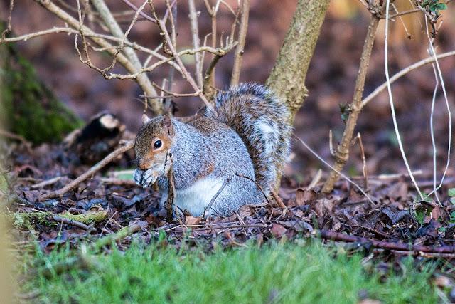 Grey Squirrel - A Windy Wander