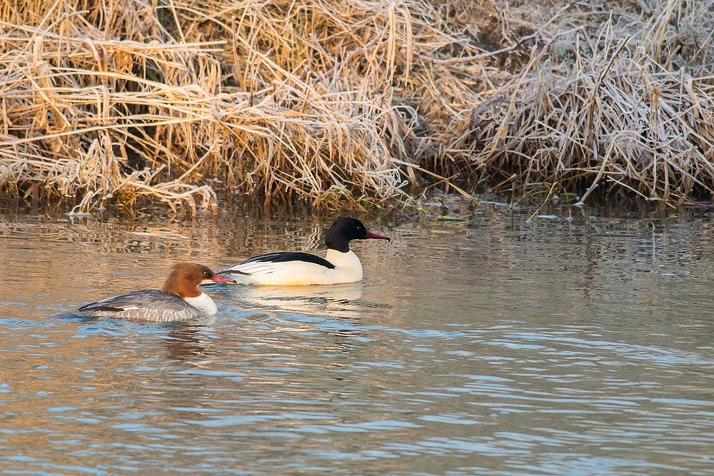 Male and Female Goosander - River Ouse, Old Wolverton, Milton Keynes