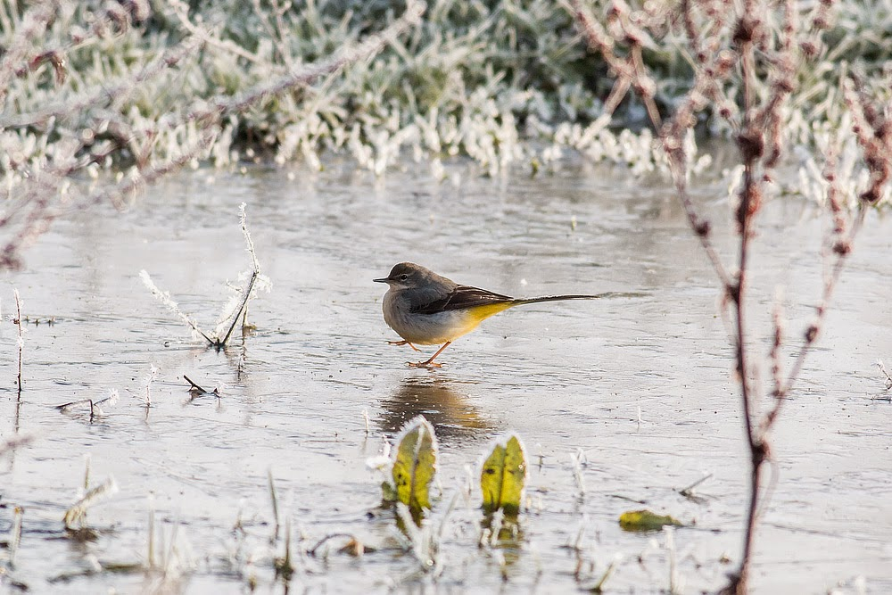 Grey Wagtail, Manor Farm, Milton Keynes