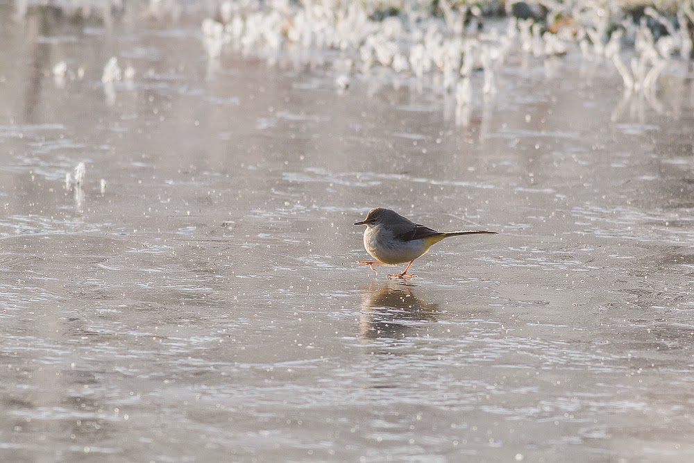 Grey Wagtail skating on thin ice, Milton Keynes