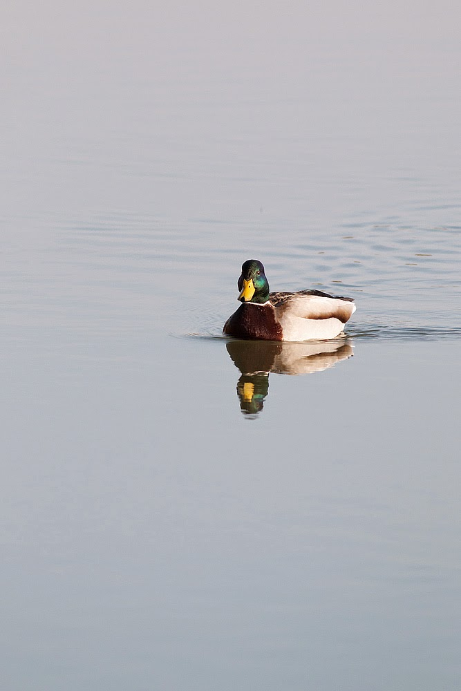 Mallard (male) - reflected in calm waters