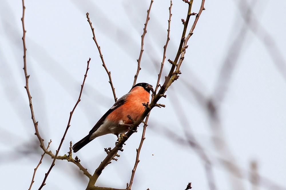 Bullfinch (male) - Manor Farm, Milton Keynes