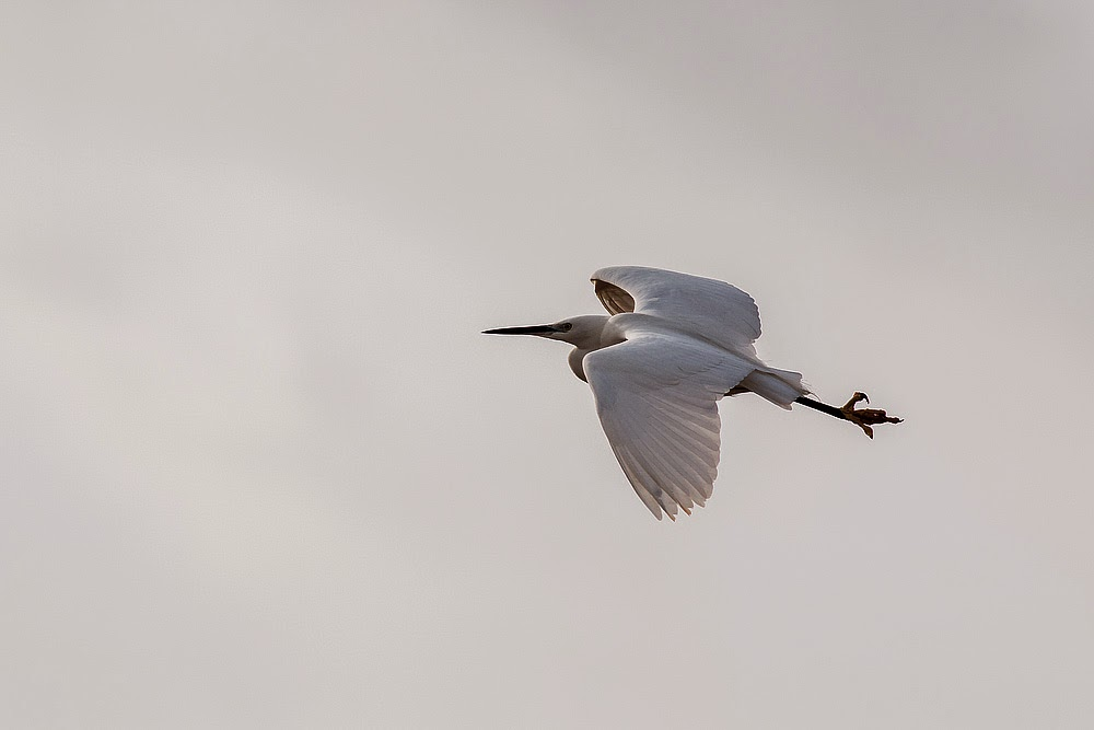 Little Egret in flight - Manor Farm, Milton Keynes
