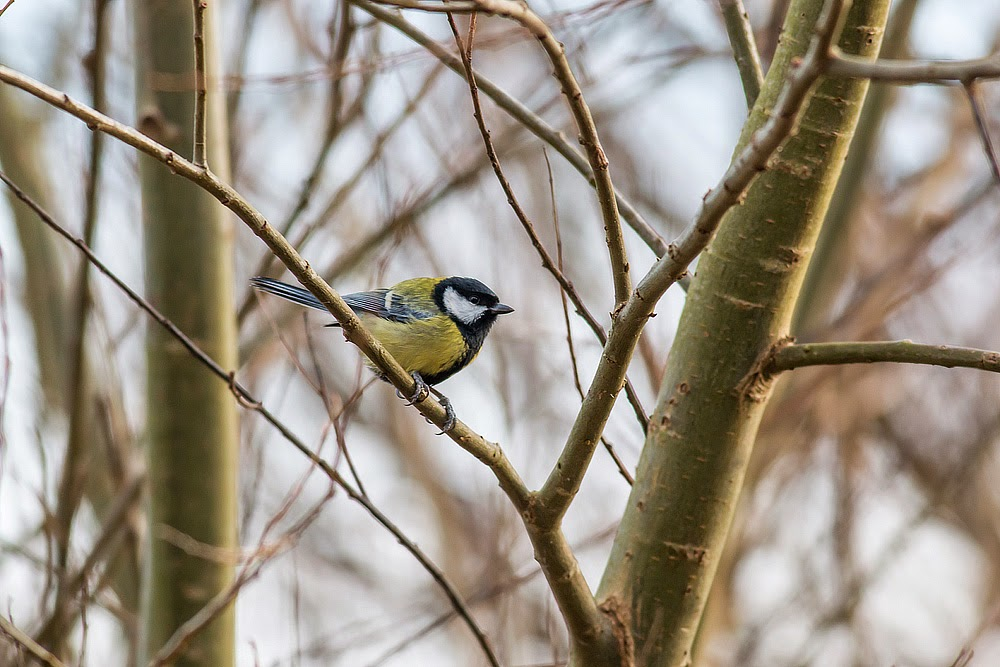 Alarmed Great Tit - Manor Farm, Milton Keynes
