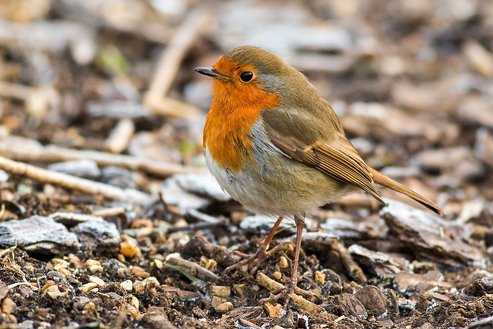 Confiding Robin, on the floor - Manor Farm, Milton Keynes