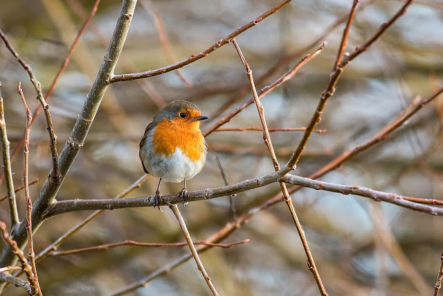 European Robin - First of Five Walks