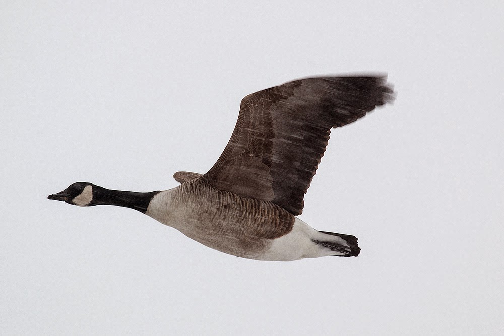 Canada Goose in flight (while snowing) - Manor Farm, Milton Keynes