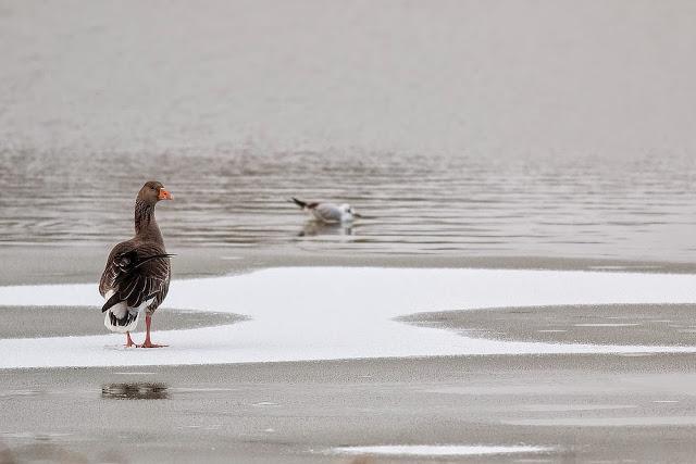 Greylag Goose (Broken wing) - Snow Day