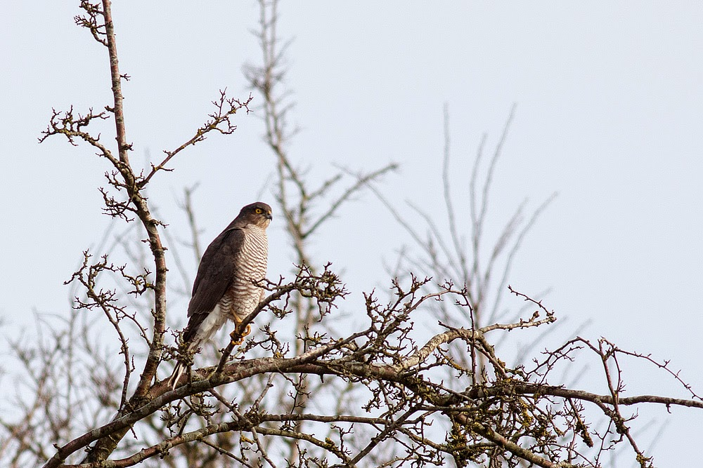 Sparrowhawk (male) - Manor Farm, Milton Keynes