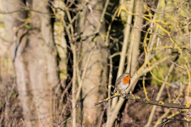European Robin - Grey Day at Manor Farm
