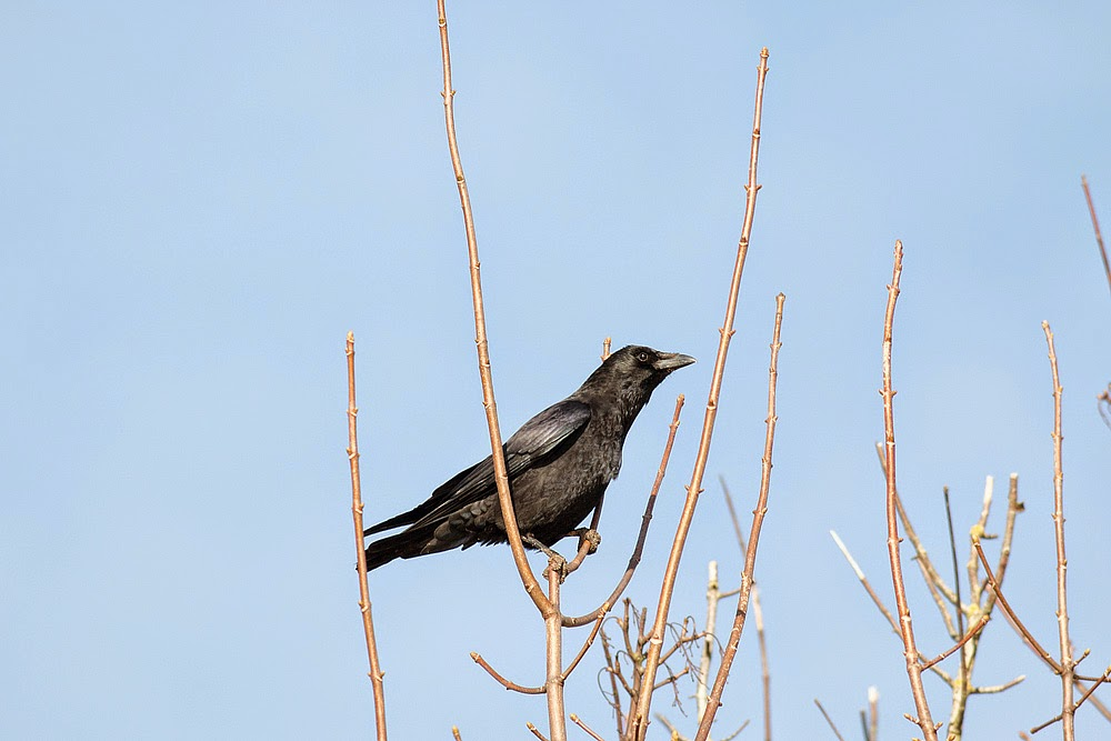 Carrion Crow - Cosgrove