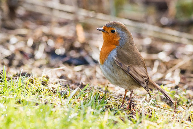 European Robin - Birthday Bash on the Patch