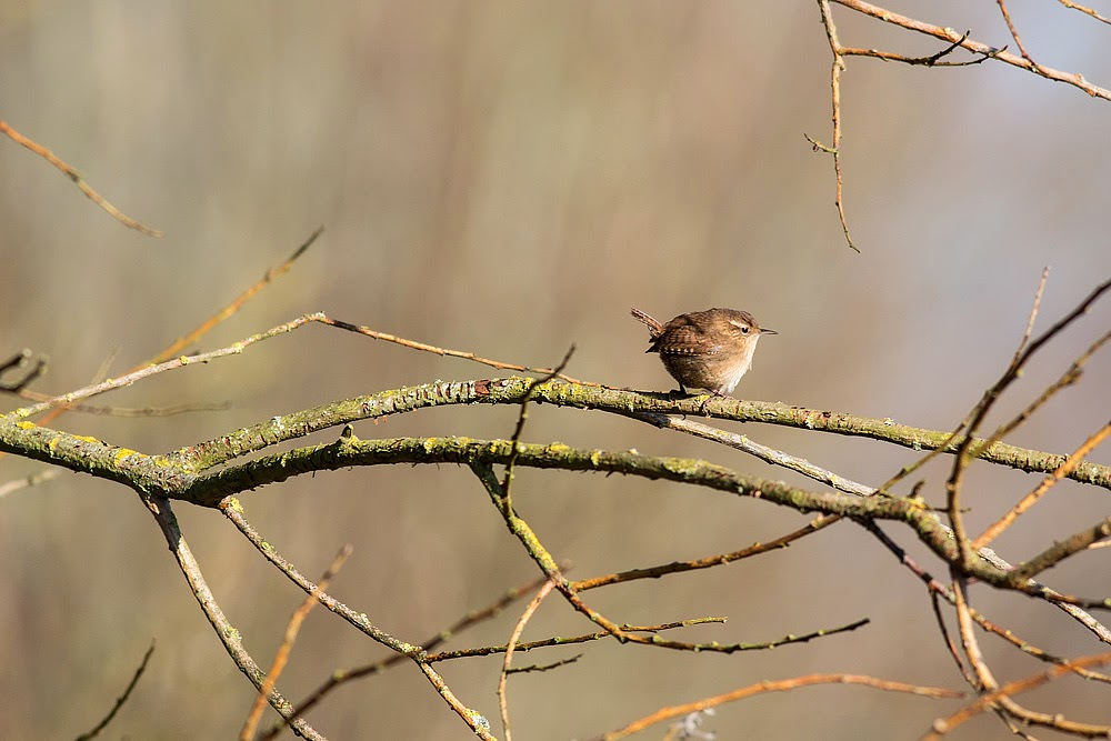 European Wren - Manor Farm, Milton Keynes