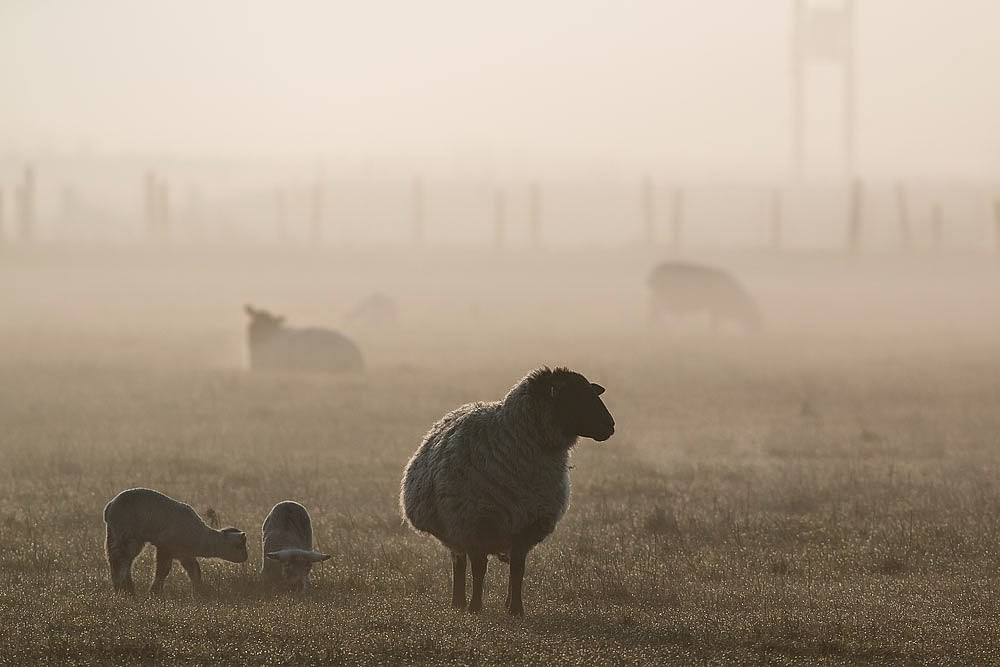 Ewe and Lambs in the early morning misty sunrise.