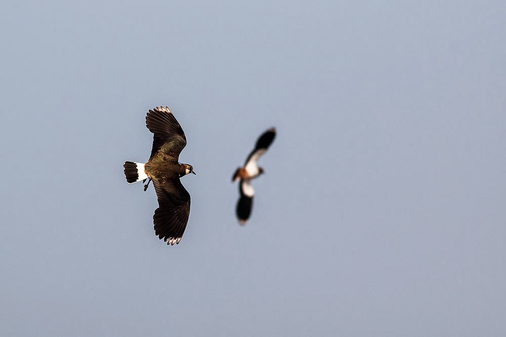 Lapwings in flight