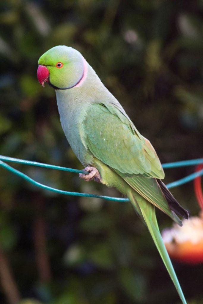 Stunning Ring-Necked Parakeet a regular of Kents garden birds