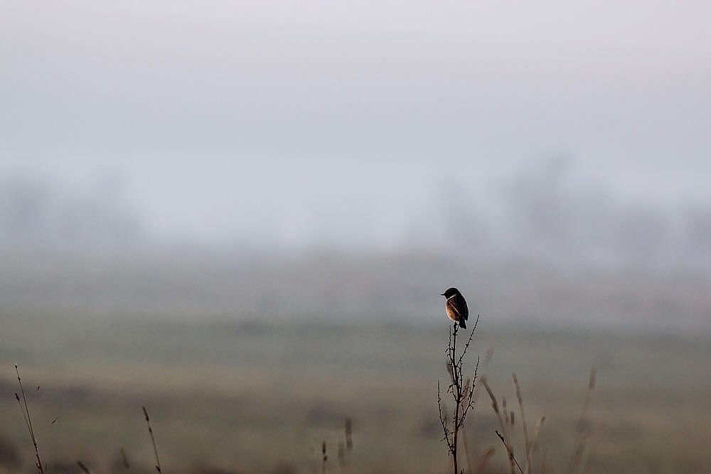 Male Stonechat - Sandwich Bay