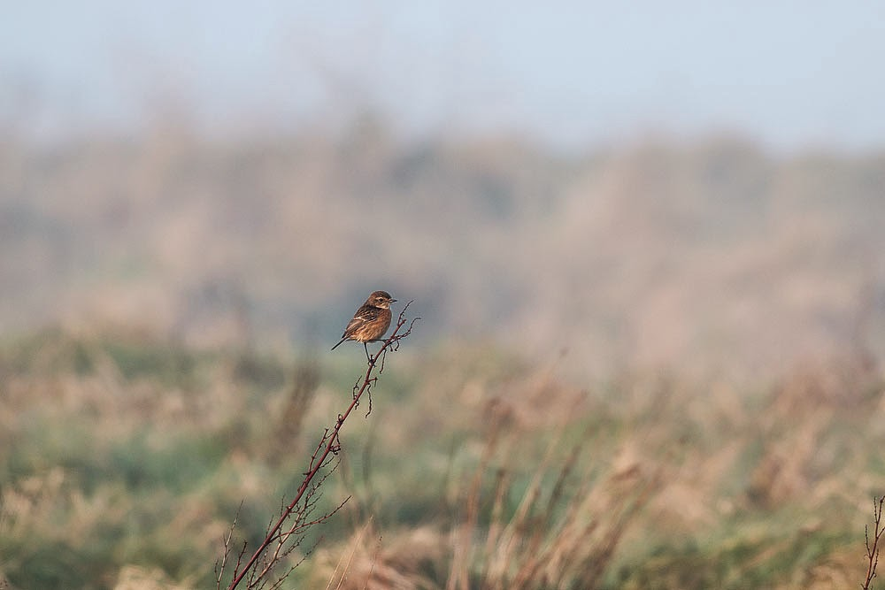 Female Stonechat - Sandwich Bay