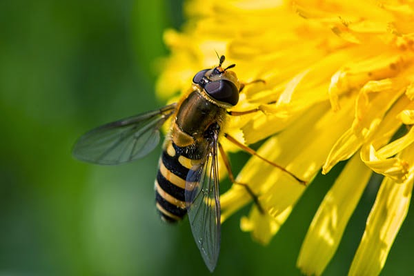 Yet Another Hoverfly