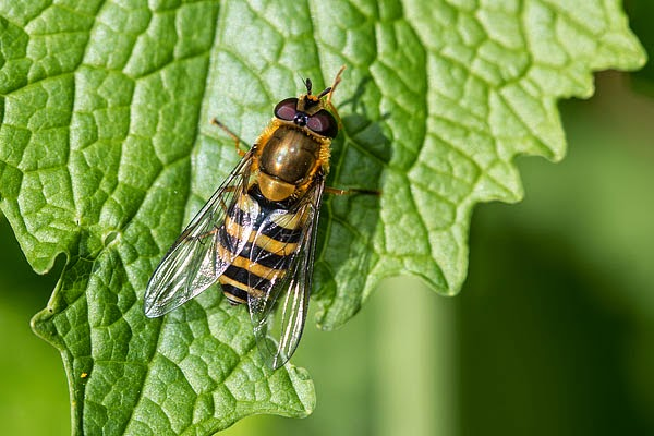 Last hoverfly