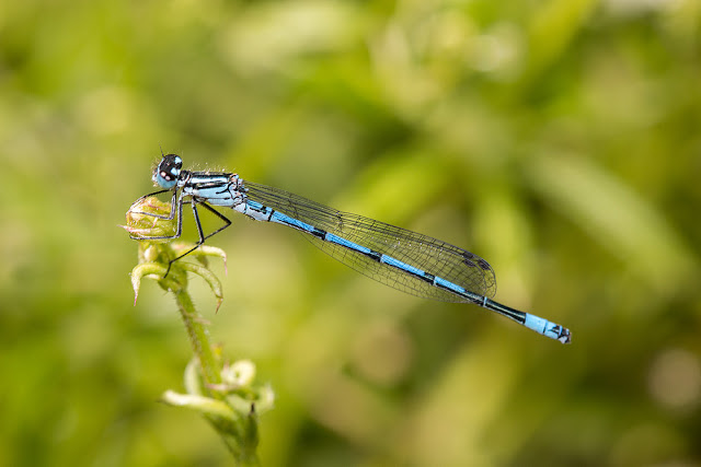 Azure Damselfly (male)