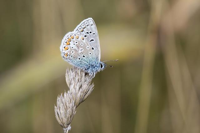 Autumn Crossover - Common Blue