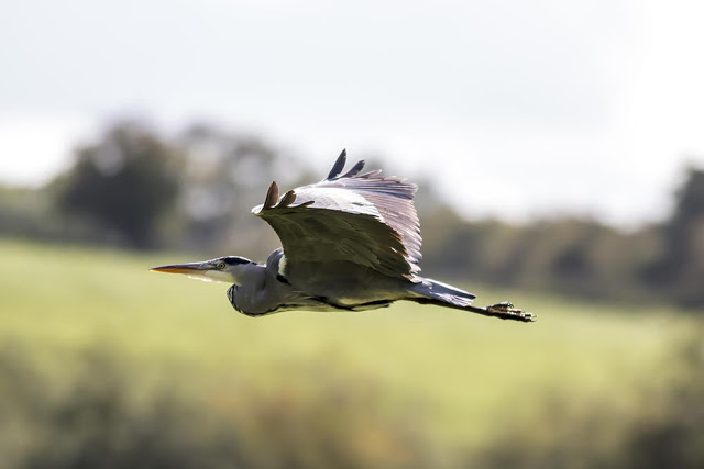 Grey Heron in flight - Long-tailed Tits and Flycatchers