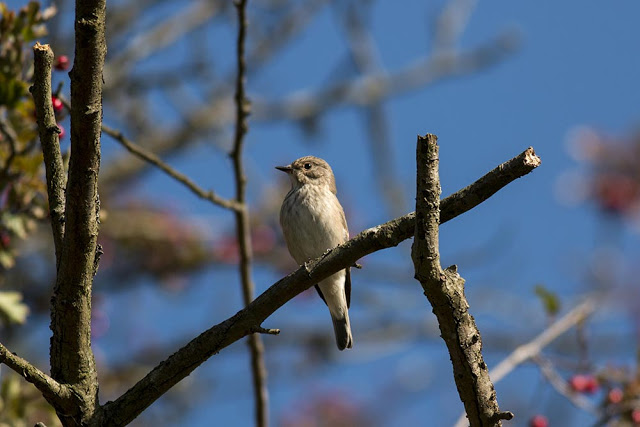 Spotted Flycatcher - Old Wolverton
