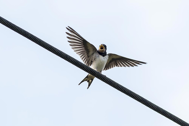 Young Barn Swallow begging for a snack