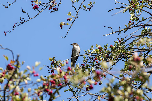 Spotted Flycatcher - Old Wolverton, Milton Keynes