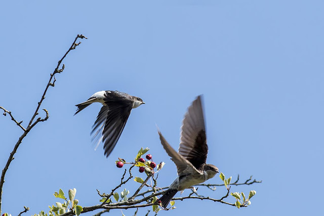 House Martins and Swallows