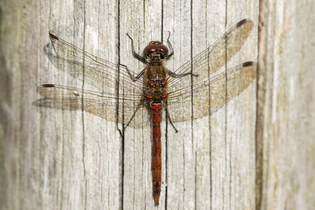 Male Common Darter warming up on a fence post