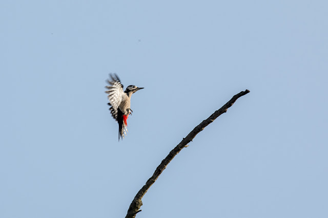 Great spotted Woodpecker coming in for a landing