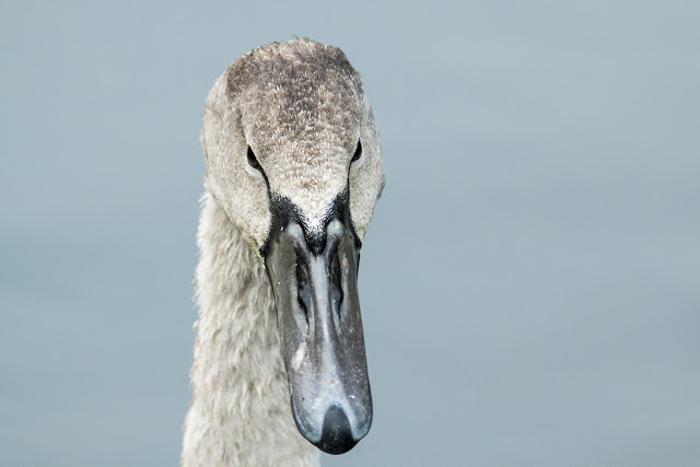 Young Mute Swan - Winter Arrivals