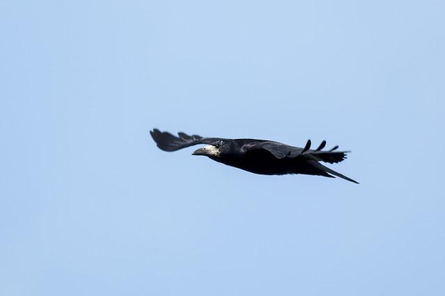 Rook in flight