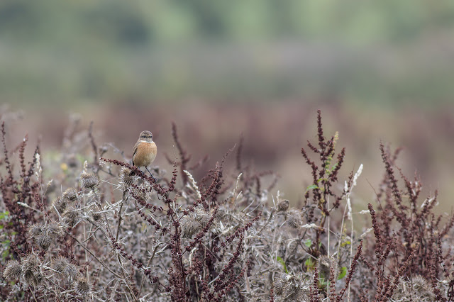 Female Stonechat - Manor Farm