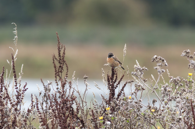Male Stonechat - Manor Farm