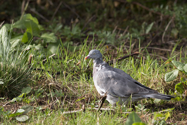 Young Wood pigeon, still has some scruffy neck feathers.