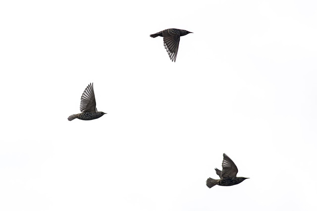 Starling in flight