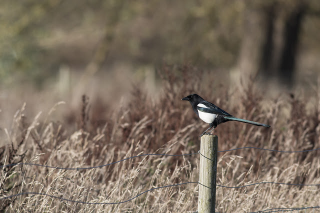 Magpie (my favourite photo of the day I love the blue and green against the purple and brown)