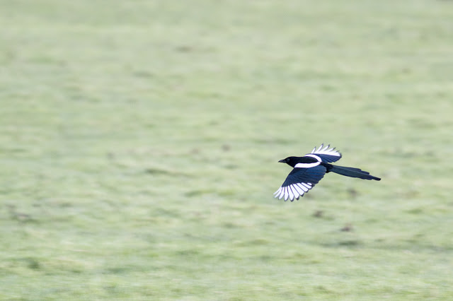 Magpie in flight (the Out of Focus nature I think makes it a nice action shot)