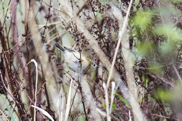 Goldcrest hiding in the weeds