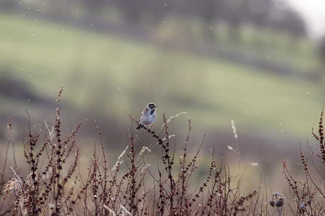 Male Reed Bunting surrounded by flies