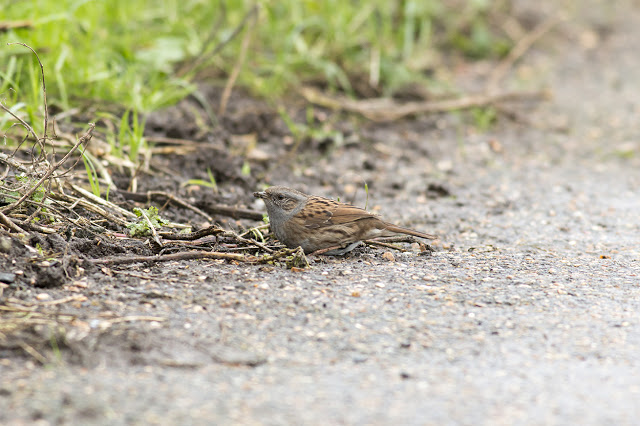 Dunnock feeding on the path